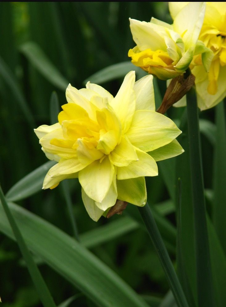Photo: Daffodil 'Golden Ducat' ( Division 4)