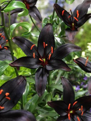 "Photo: Asian Lily ""Queen of the Night"""