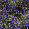 Photo: Lobelia
