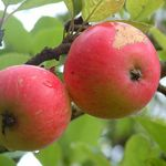 Photo: Malus domestica 'Discovery'