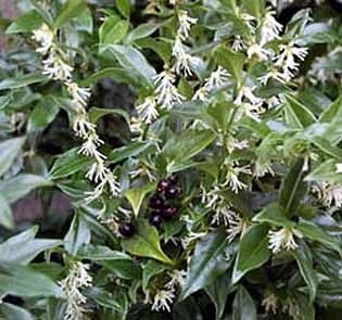 Photo: Sarcococca humilis