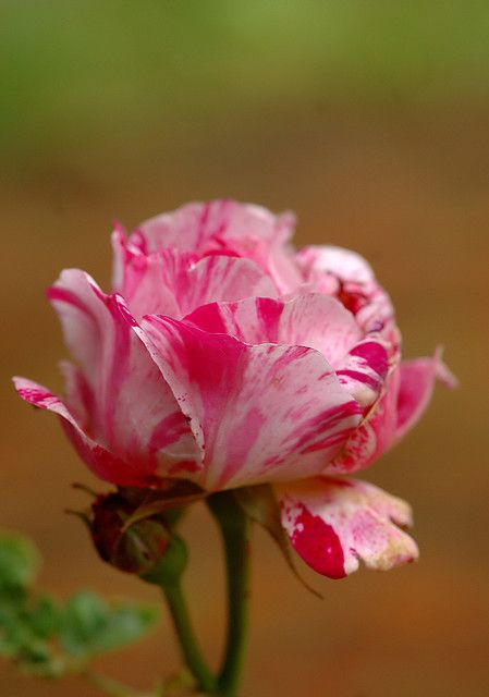 Photo: Rosa 'Ferdinand Pichard'