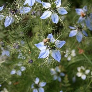 Photo: Love-in-a-mist