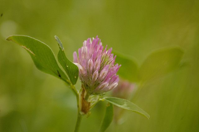 Photo: Red Clover