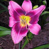 "Photo: Hemerocallis ""Dandy Dave"""