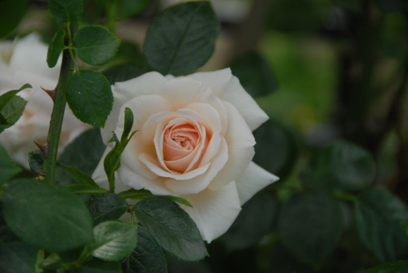 Photo: Rosa 'Penny Lane'