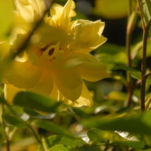 Photo: Rosa 'Golden Showers'