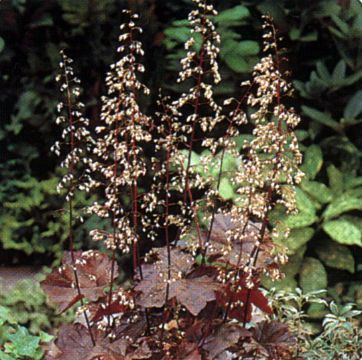Photo: Heuchera micrantha 'Palace Purple'
