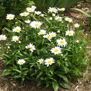Photo: Shasta Daisy 'Becky'