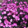 Photo: Dianthus Pinks