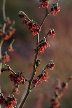 Photo: Hamamelis x intermedia 'Diane'