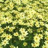 Photo: Coreopsis 'Moonbeam'