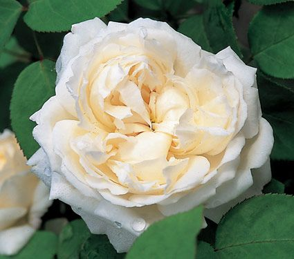 Photo: Rose 'Winchester Cathedral'