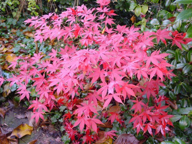 Photo: Acer palmatum 'Osakazuki'
