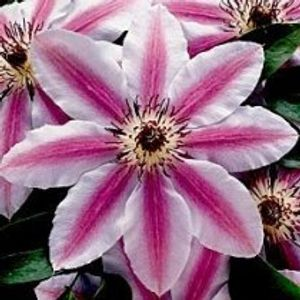 Photo: Clematis 'Nelly Moser'