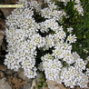 Photo: iberis sempervirens