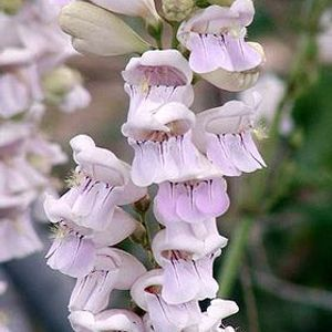 Photo: Penstemon barbatus