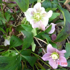 Photo: Lenten-rose
