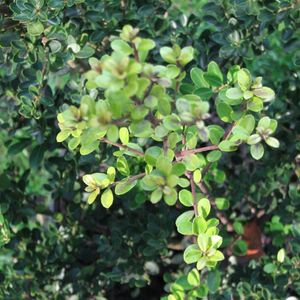 Photo: Ilex crenata 'Green Hedge'