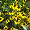 Photo: Rudbeckia Triloba