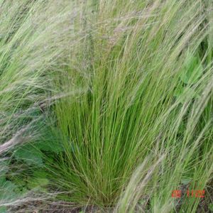 Photo: Stipa tenuissima