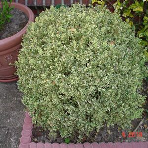 Photo: American Boxwood