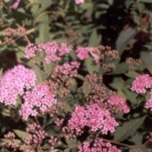 Photo: Spiraea bumalda