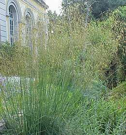 Photo: Stipa gigantea