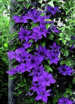 Photo: Clematis 'The President'
