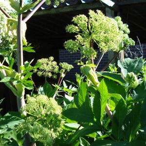 Photo: angelica archangelica syn. angelica officinalis
