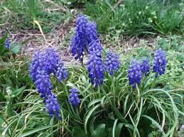 Photo: Compact Grape-hyacinth
