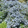 Photo: Ceanothus thyrsiflorus var. repens