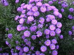 Photo: Aster