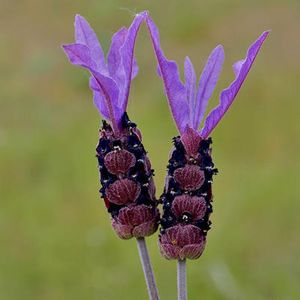 Photo: French Lavender