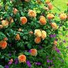 Photo: Rosa 'Crown Princess Margareta'