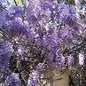 Photo: Chinese Wisteria 'Prolific'