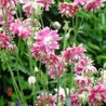 Photo: Aquilegia 'Nora Barlow'