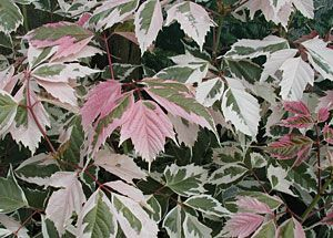 "Photo: Acer negundo ""flamingo"""