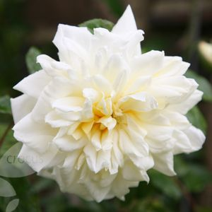 Photo: Rosa 'Alberic Barbier'
