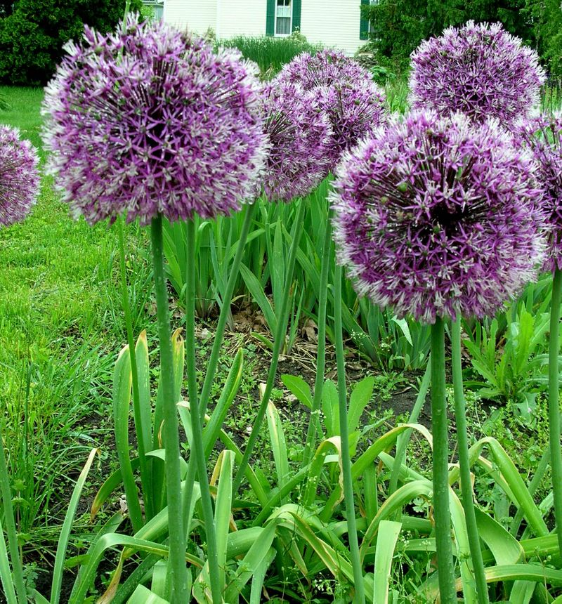 Photo: Allium 'Rosenbachianum'