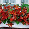 "Photo: Begonia Bertinii Boliviensis ""Tanais"""