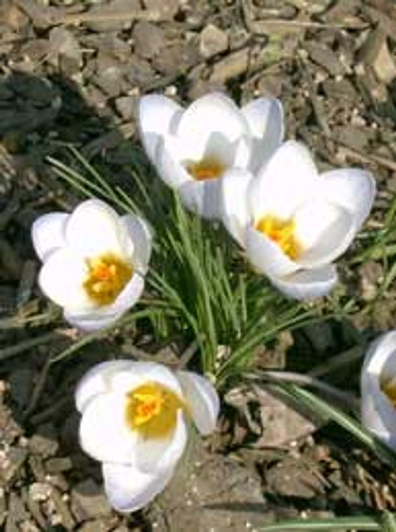 "Photo: Crocus vernus ""Jeanne d'Arc"""