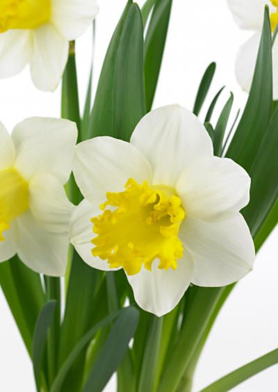 Photo: Narcissus Trompet 'Attraction'