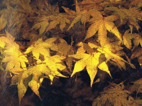 Photo: Acer palmatum 'Golden Pond'