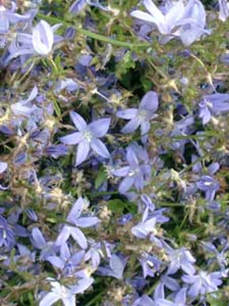 Photo: Trailing Bellflower