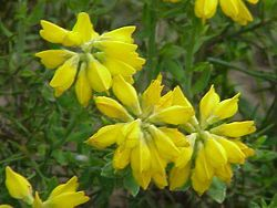 Photo: Spanish Gorse