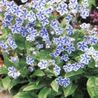 Photo: Omphalodes Cappadocica 'Starry Eyes'
