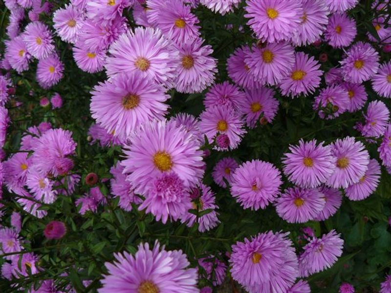 Photo: Aster novi-belgii 'Anita Webb'