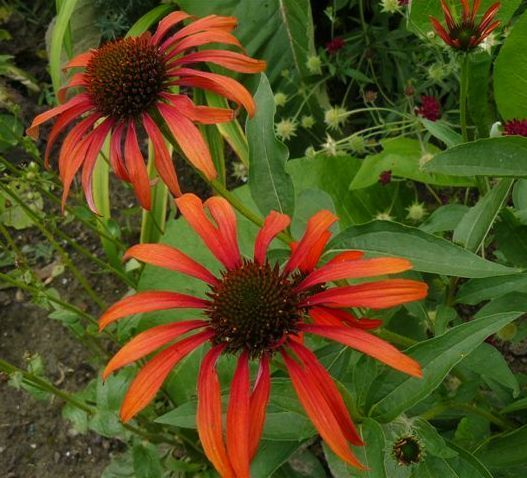 Photo: Echinacea 'Tomato Soup'