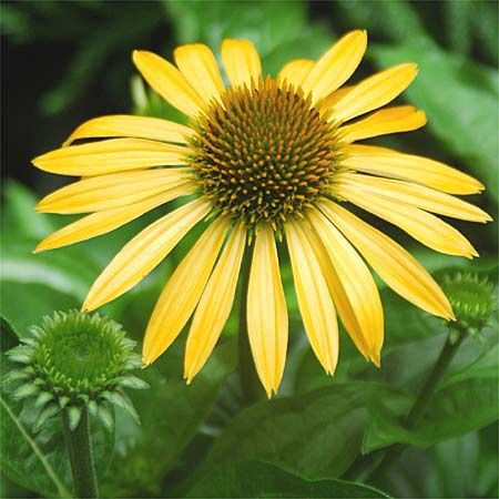 Photo: Echinacea 'Harvest Moon'